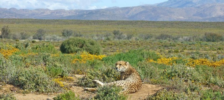 Inverdoorn Private Game Reserve Cheetah