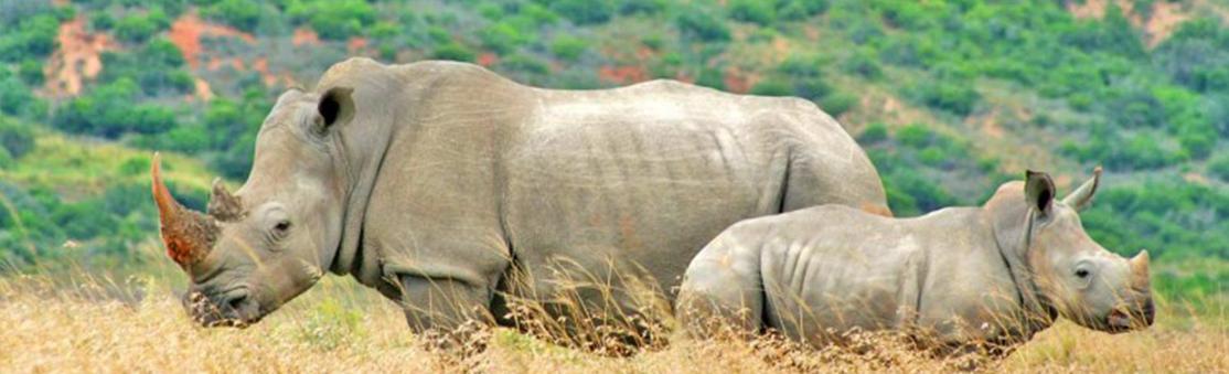 Madikwe Game Reserve Rhino