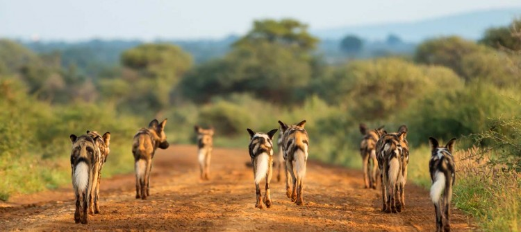 Madikwe Game Reserve Wild Dogs