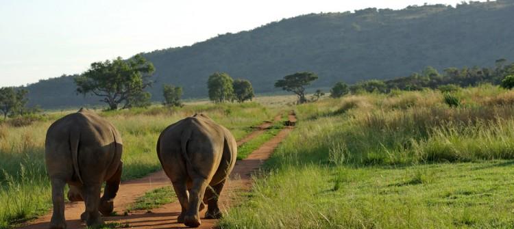 Pilanesberg National Park Rhino