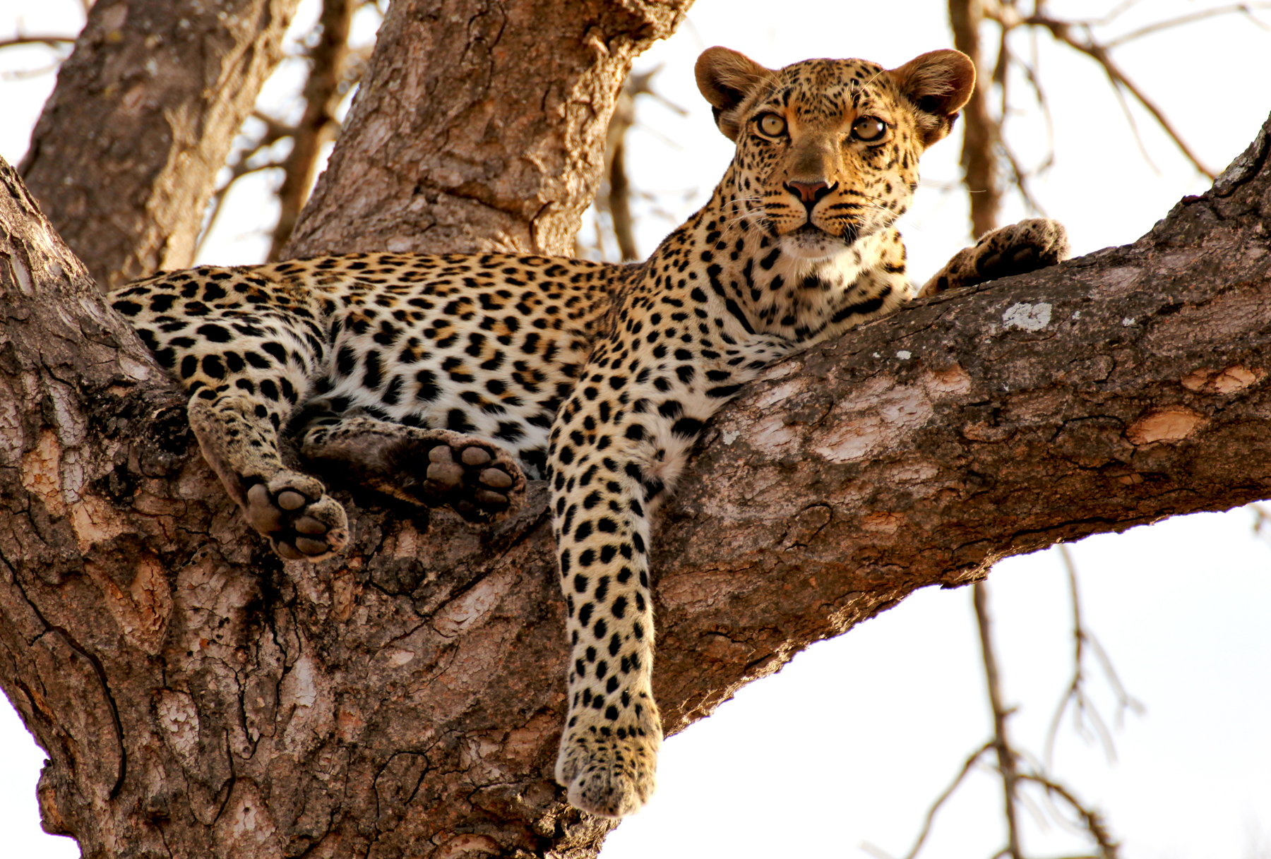 c1e5890e9c Best places to go on safari to view leopards in the wild in Africa